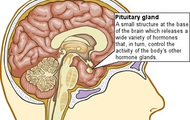 Diagram of the brain showing the pituitary gland at the base, infront of the brainstem.