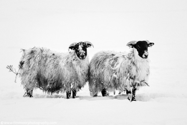 Tim's photo of sheep in the snow belongs on a Christmas card